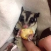 Sugar glider love - VINE